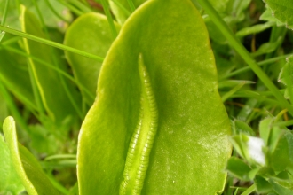 Adder's-tongue Fern