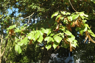 Large-leaved Lime