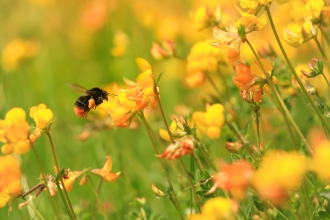 Buff-tailed bumblebee on birdsfoot trefoil