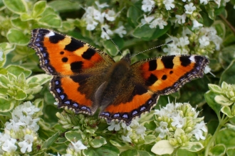Small tortoiseshell butterfly on oregano